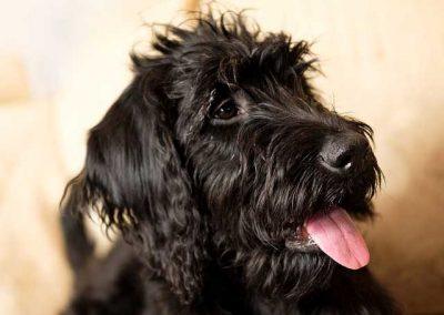 Marley Labrador x Poodle