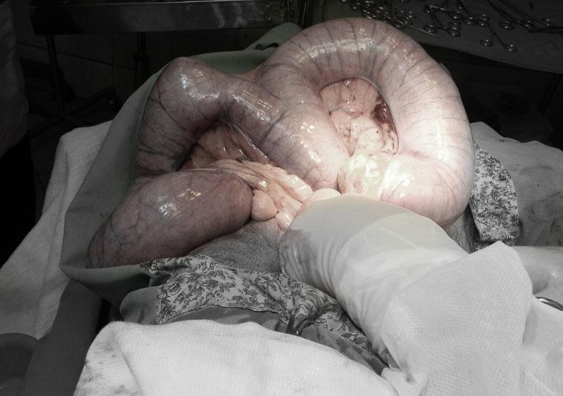 Pyometra of a dog's uterus