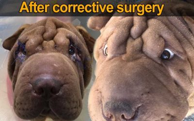 Sharpei Eyes Is your Dog Going Blind