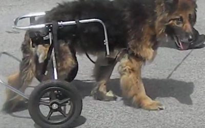 German Shepherd Recovery 48 hours after Hip Surgery